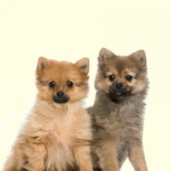 Eskipom Puppies For Sa...