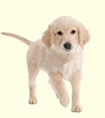 Golden Retriever Mix Puppies For Sale In De Md Ny Nj Philly Dc And Baltimore