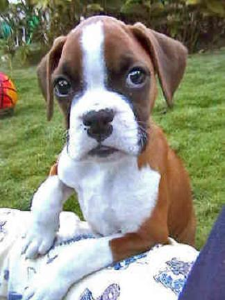 Greenfield Puppies on Dog Blog   The Boxer Dog   Featured Breed   Greenfield Puppies