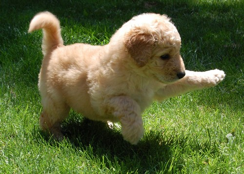 Small Dogs That Stay Small Forever | Dog Breeds Picture