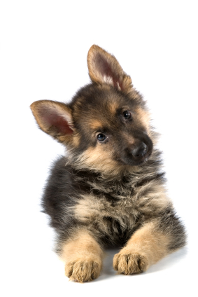 Greenfield Puppies on Dog Blog   Featured Breed   German Shepherd   Greenfield Puppies