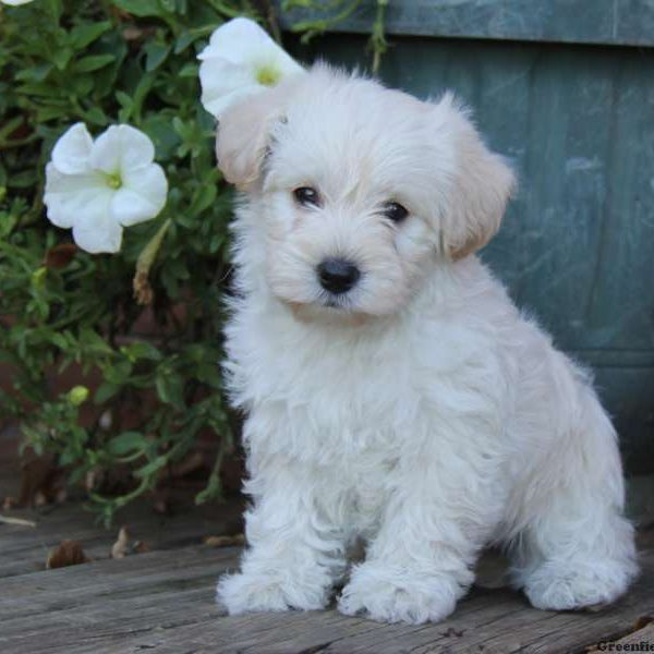 Puppies! - West Highland Terrier Rescue Westies in Need Yukon Canada
