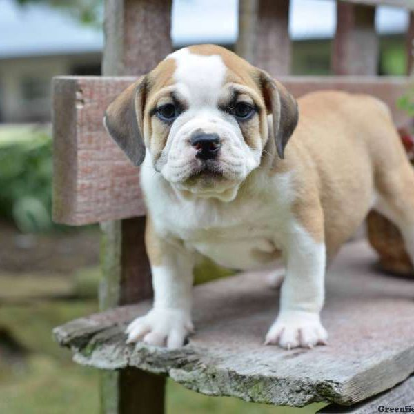 Beabull Puppies For Sale In PA
