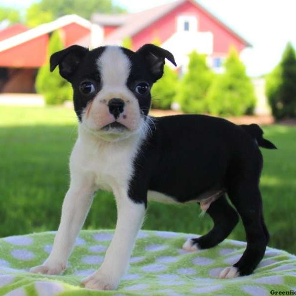 Craigslist Chihuahua Puppies >> Boston Terrier Puppies For Sale In PA